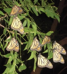 Monarchs by Rhonda Hurst
