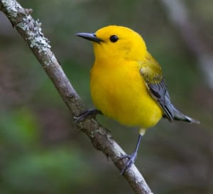 """The Prothonotary Warbler, found along wooded streams and rivers in eastern Oklahoma is just one of 298 """"species of greatest conservation need"""" designated by the Comprehensive Wildlife Conservation Strategy. (USFWS Northeast Region)"""