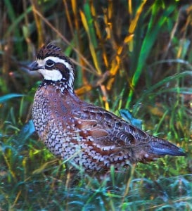 Northern bobwhite populations are rebounding in most areas of Oklahoma according to roadside surveys conducted by the Wildlife Department. (Jeff Neal / ODWC)