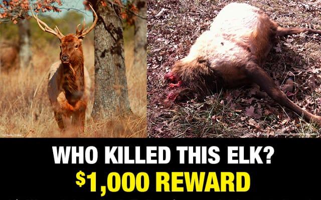 elk-killed-at-nickel
