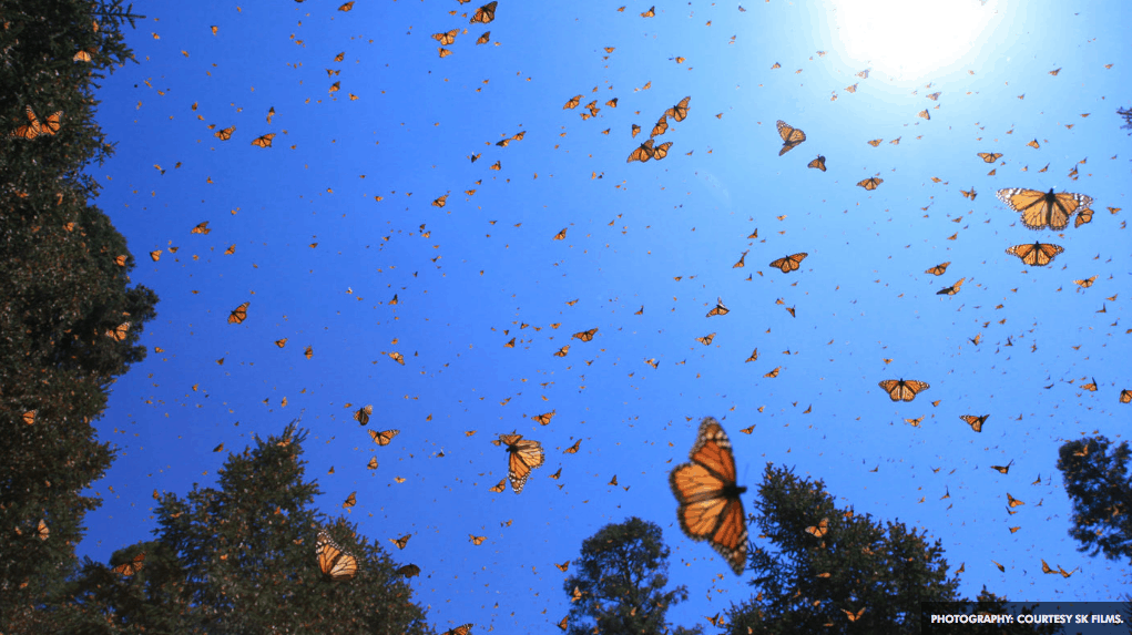 Monarch Butterflies - Cowboys and Indians - Courtesy of SK Films