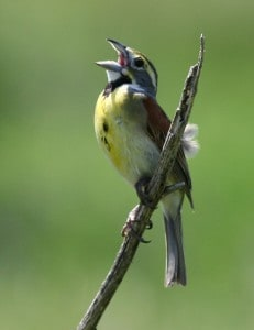 Dickcissel, Photo by Curtis Hart, National Wildlife Federation