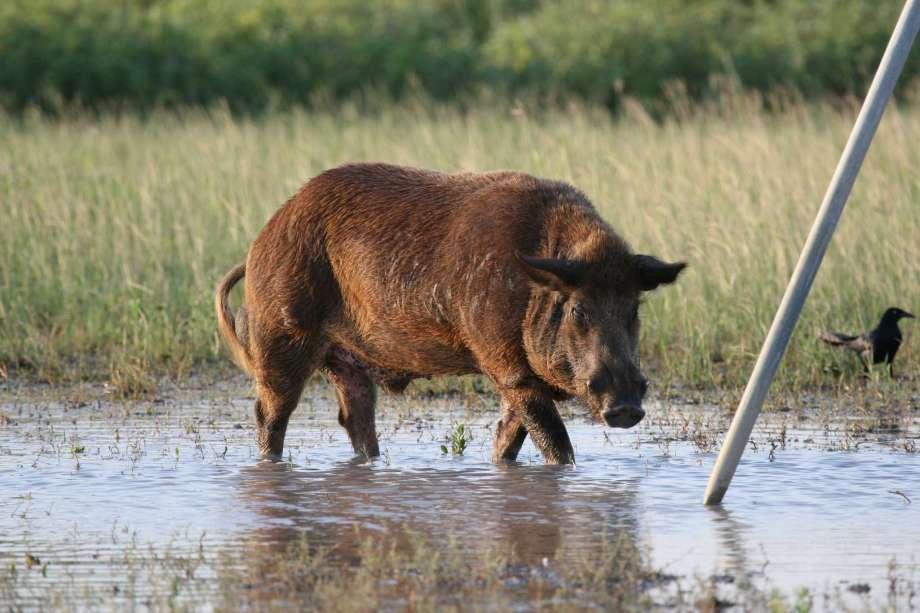 Feral hog, Photo Courtesy of the Houston Chronicle